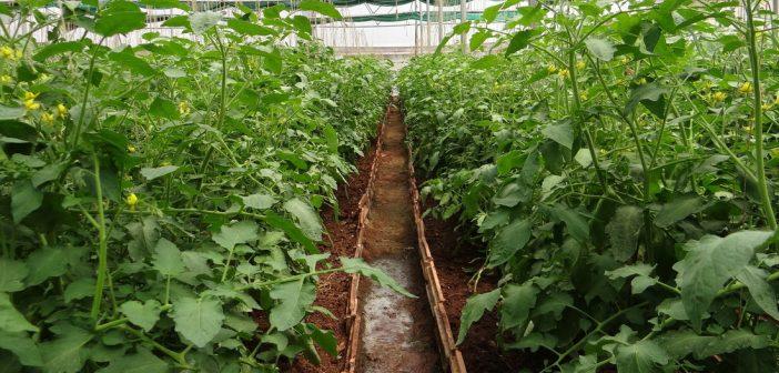 Samodzielna uprawa warzyw w szklarni ogrodowej. Jemy co dobre i zdrowe!