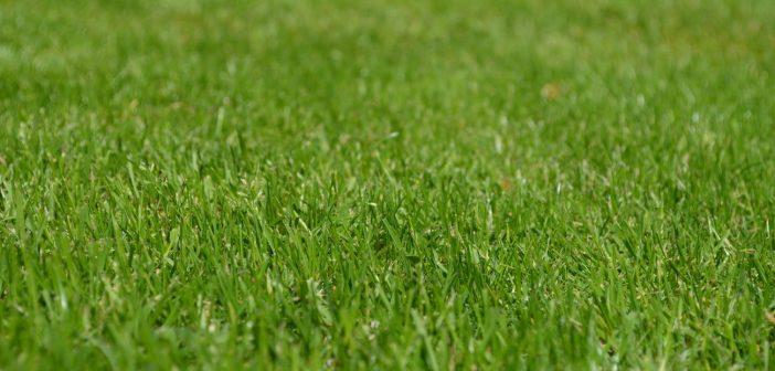 zielony trawnik